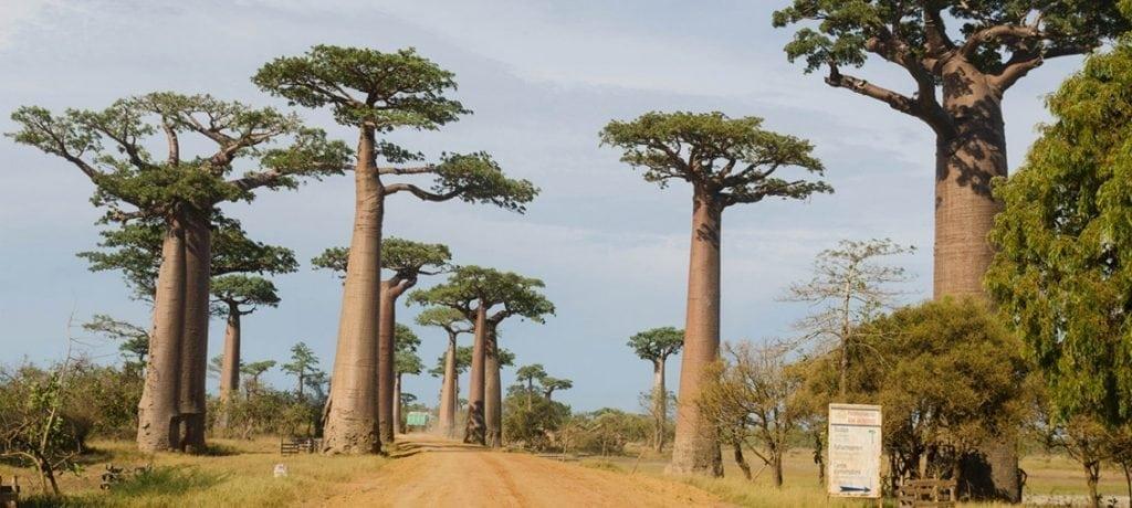 Allée des baobabs : Un joyau du sud-ouest de Madagascar