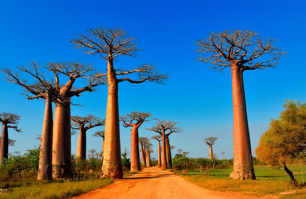 Baobab-Allee1